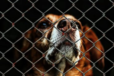 Animals: A dog's sad face on the other side of a chain-link fance.