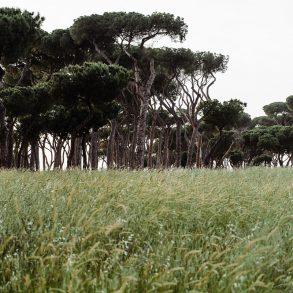 Pinus Ostia